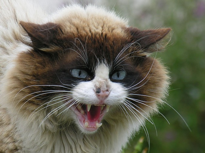 Very-Angry-Cat
